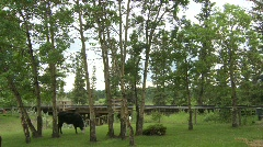 railroad, old steam train over trestle bridge with cows - stock footage