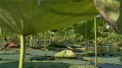 Lily pads low angle Stock Footage