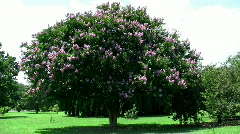 crepe myrtle tree HD - stock footage