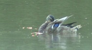 Duck cleaning on lake Stock Footage
