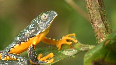Amazon leaf frog (Cruziohyla craspedopus) Stock Footage