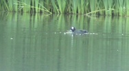 Stock Video Footage of 2 moorhens