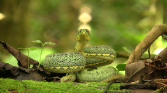 Two-striped forest pitviper (Bothriopsis bilineata) Stock Footage