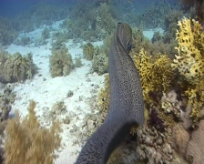 Free swimming giant moray eel Stock Footage