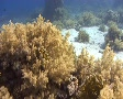 Giant moray swimming Footage
