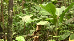 Cocoa pods (Theobroma cacao) Stock Footage