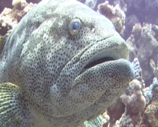 Close up of A large Malabar grouper Stock Footage