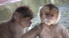 White-fronted Capuchin Monkeys (Cebus albifrons) grooming Stock Footage