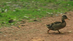 Stock Video Footage of baby duck walking