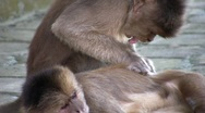 Stock Video Footage of White-fronted Capuchin Monkeys (Cebus albifrons) grooming