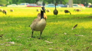 Stock Video Footage of Geese running in an open field