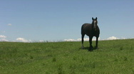 Stock Video Footage of Black horse on green hillside.