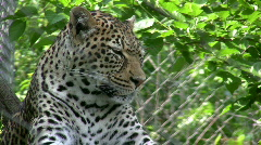 Leopard in Sunshine Stock Footage