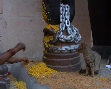 Cat eating prasad (sweet rice) in the Hindu temple Stock Footage