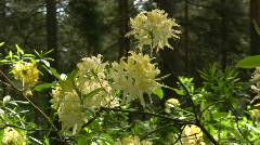 Blossom of rhododendron (Ericaceae family) plant 4 Stock Footage