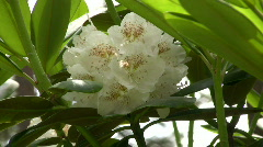 Blossom of rhododendron (Ericaceae family) plant 5 Stock Footage