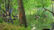 Stock Video Footage of ducks swimming and coming out of water