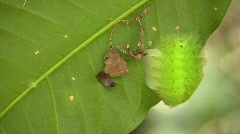 Amazonian slug caterpillar (Limacodidae) - stock footage