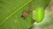 Amazonian slug caterpillar (Limacodidae) Stock Footage