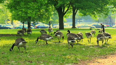Stock Video Footage of geese eating in large open field