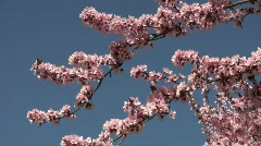 Pink flowers and birdsong - stock footage