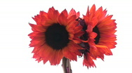 Red sunflowers Stock Footage
