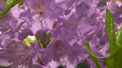 Blossom of rhododendron (Ericaceae family) plant 15 Stock Footage