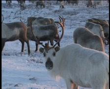 Chukchi hunters killing reindeers - stock footage