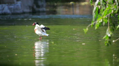 Mallard cleaning his feathers Stock Footage