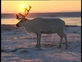 Stock Video Footage of  Reindeer and Sun