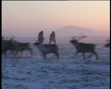 Hunting with lasso for reindeers with sunset background Stock Footage