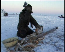 Chukchi hunter chopping frozen meat for eating raw Stock Footage