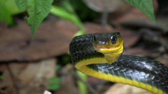 Amazonian whipsnake (Chironius exoletus) - stock footage
