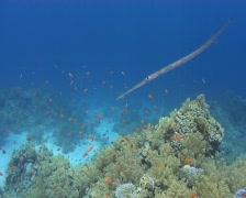 Cornet fish  Stock Footage