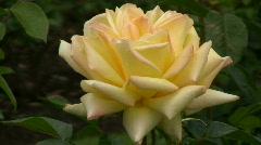 Yellow Irish rose 12 Stock Footage