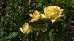 Yellow Irish rose 15 Stock Footage
