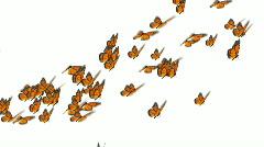 Monarch butterflies flock Stock Footage