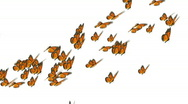Stock Video Footage of monarch butterflies flock