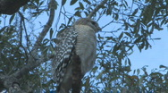 Hawk sitting on tree limb looking for prey clip 2 Stock Footage