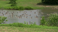 Db Canadian Geese Stock Footage