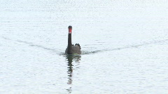 Black Swan swimming on calm winter lake - stock footage