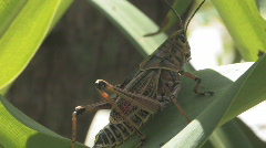 Large Grasshopper on Summer Lilly plant looking for food Stock Footage