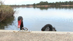 Aggressive black swans hiss at camera Stock Footage