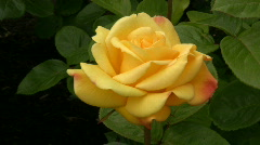 Yellow Irish rose 22 Stock Footage