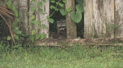 Racoon looking through broken fence clip 2 Stock Footage