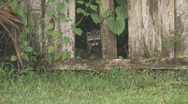 Racoon looking through broken fence clip 2 Stock Footage