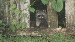 Racoon looking through broken fence clip 1 - stock footage