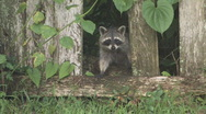 Stock Video Footage of Racoon looking through broken fence clip 1