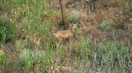 Deer Standing On Side Of Canyon Stock Footage