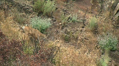 Deer Walking Down Side of Canyon Stock Footage